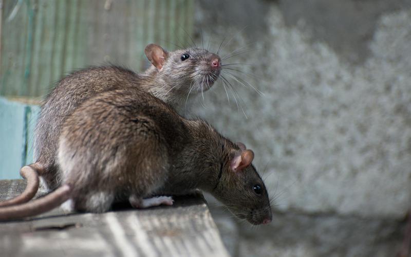 SOCIÉTÉ DÉRATISATION - Dératisation - Dératisation rats - Dératisation souris - Particuliers - Professionnels - 24H/24 - 7J/7 - 06 46 02 29 82
